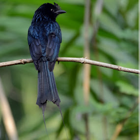 Rocket tailed drongo by Santhosh Kumar - Animals Birds