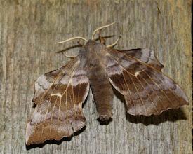 Photo: Lathoe populi   Lepidoptera > Sphingidae