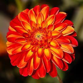Dalhia n00075 by Gérard CHATENET - Flowers Single Flower