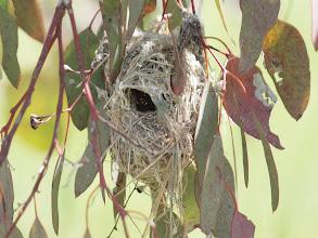 Photo: Weebill nest