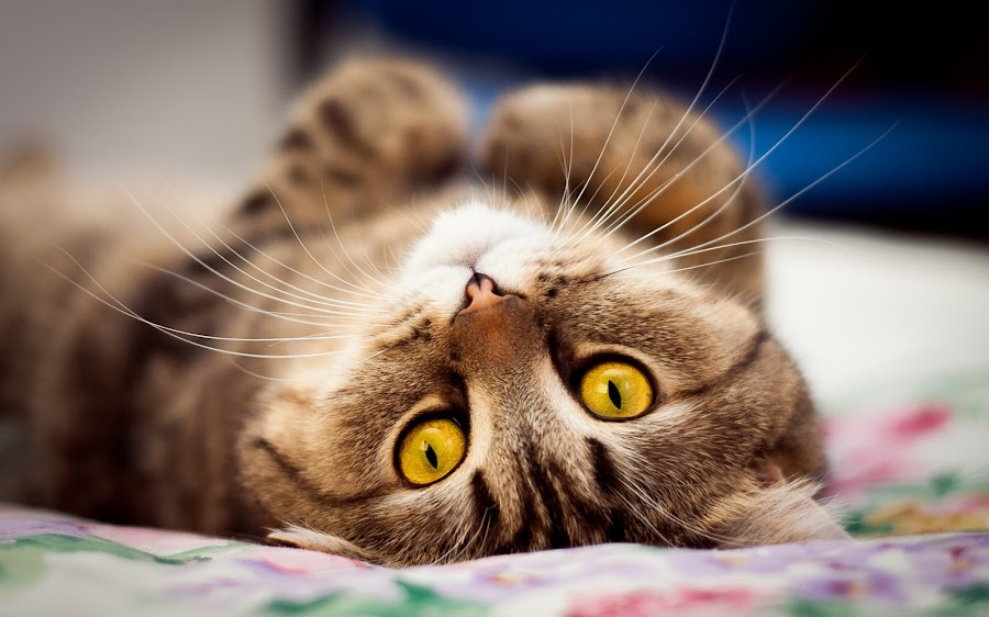 KaTy by Danny Pover - Animals - Cats Playing ( cat, animals, cute )