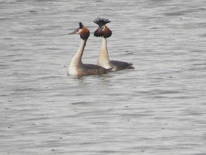 Photo: Trench Pool A pair of Great Crested Grebes: she is looking rather coy as he puts on an impressive display. (Ed Wilson)