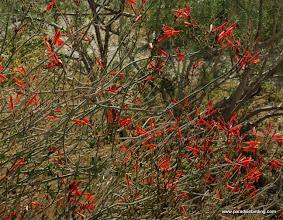 Photo: Chuparossa; Anza Borrego Desert State Park