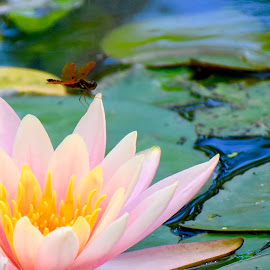 Lilly and Dragonfly by Lorna Littrell - Flowers Single Flower ( lilly pad, dragonfly, pink lily, flowers, nature up close )