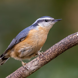 Red-Breasted Nuthatch by Don Young - Animals Birds ( color, nature, bird photography, bird, red-breasted nuthatch )