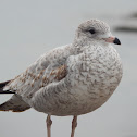 Ring-billed Gull (1st Winter)