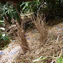 Satin Bowerbird (bower)