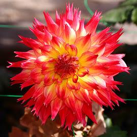 Dalhia n00066 by Gérard CHATENET - Flowers Single Flower