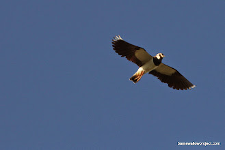 Photo: Another look at the lapwing