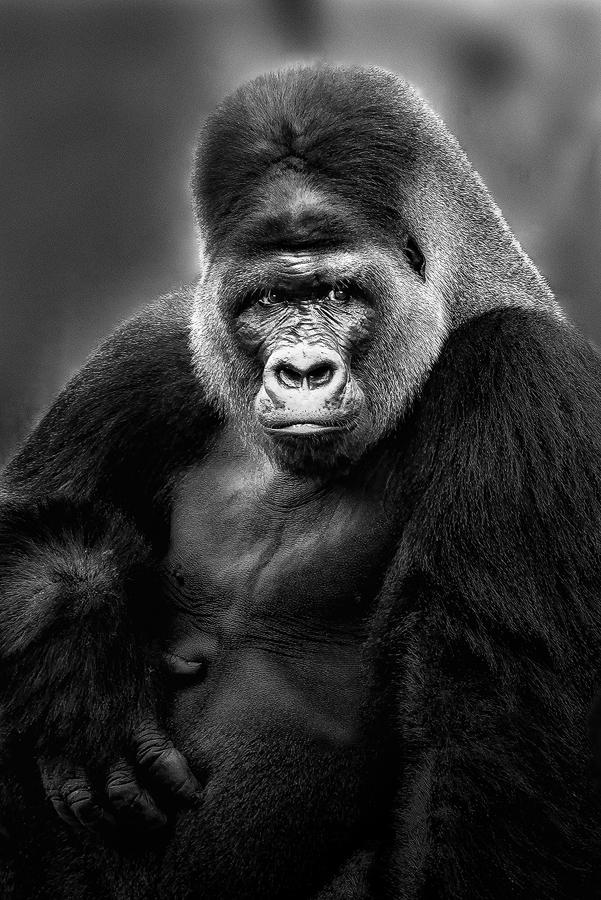 Mr. Gorilla by Dragan Milovanovic - Black & White Animals ( animals, nature, gorilla,  )
