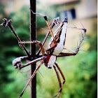 White lynx spider (Oxyopes sweta)