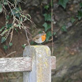 Robin on a bench by Tony Pitt - Animals Birds ( robin, perchingengland, helford, pwctaggedbirds, devon )