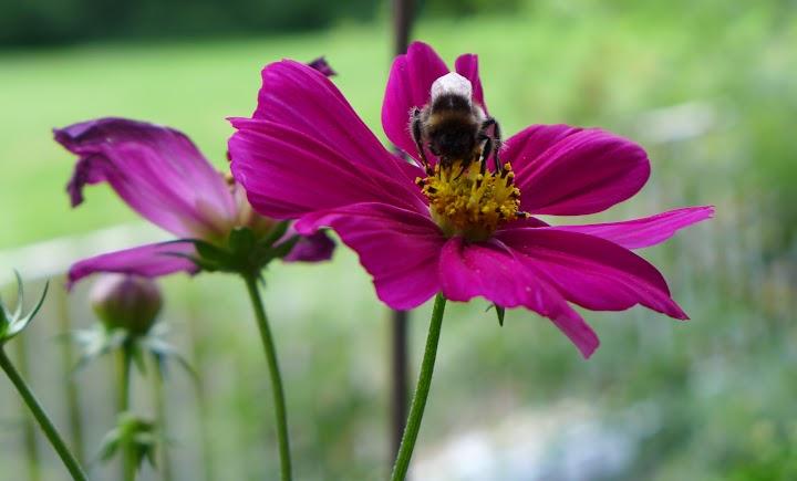 Blüte mit Biene.