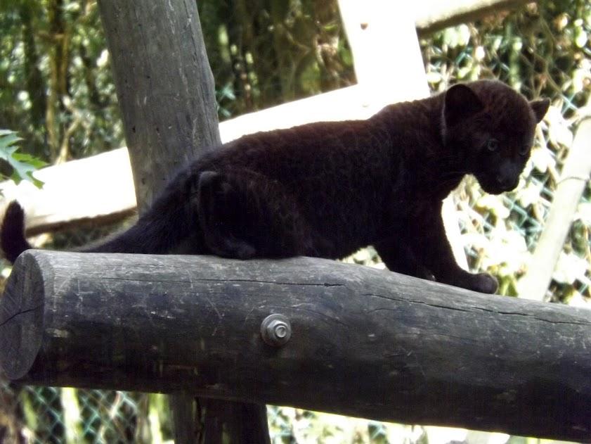 Bébé panthère noire de 2 mois, la Boissière du Doré - Tous droits réservés