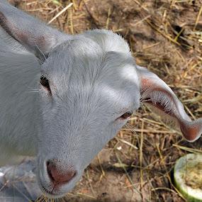 baby goat by Bojan Dobrovodski - Animals Other Mammals