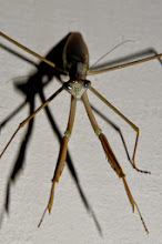 Photo: A stick-insect.