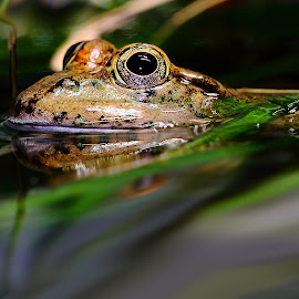 The frog is floating by Gérard CHATENET - Animals Amphibians