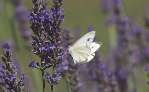 papillon-et-lavande-pres-de-la-maison-dhotes