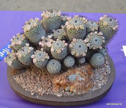 Photo: Best of Show, Mammillaria perezdelarosae