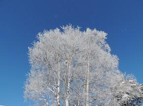 天使の輝き・大きな白樺キラキラ