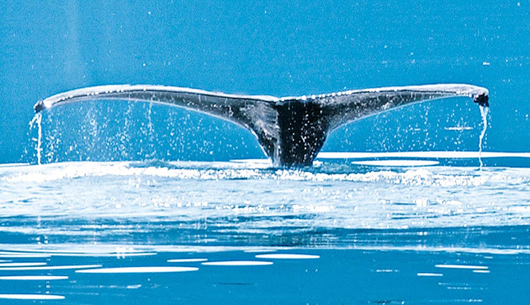 A humpback whale off the coast of Alaska during a Princess sailing. Ruby Princess's Inside Passage cruises, including Glacier Bay National Park, begin at $799.