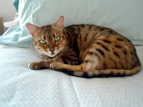 Photo: Tzarina Ekaterina is a pet quality neutered female Bengal cat whom rescued in 2005 from the TICA Bengal Rescue Association.