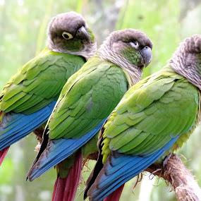 Triplets - Three Amigos by Kinga Urban - Animals Birds ( animals, nature, tropical, wildlife, birds,  )