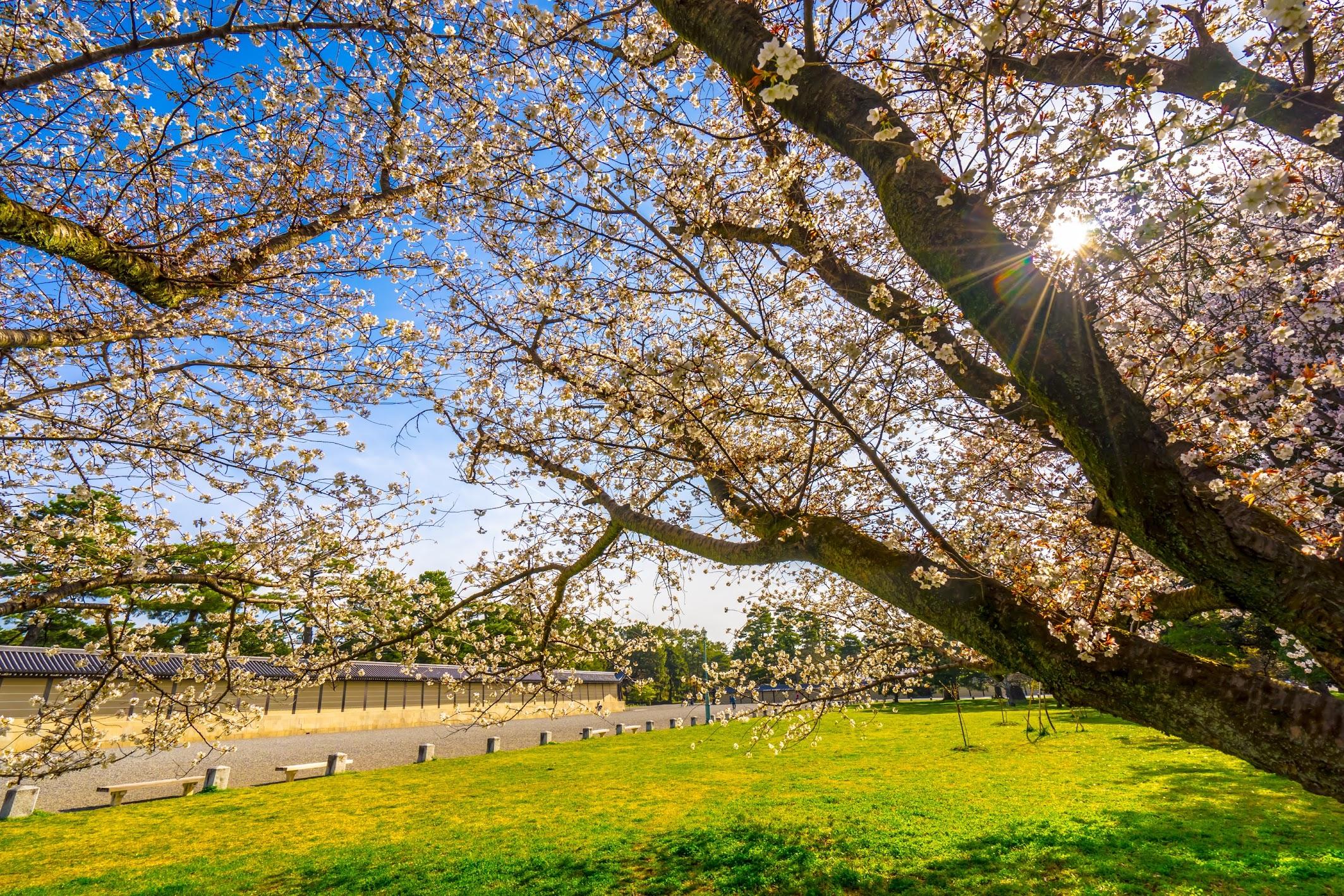 Kyoto gyoen Gakushuin cherry blossoms3