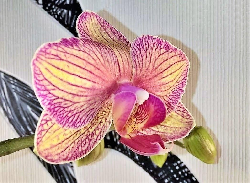2019-02-10 LüchowSss zuhause Orchideenblüte