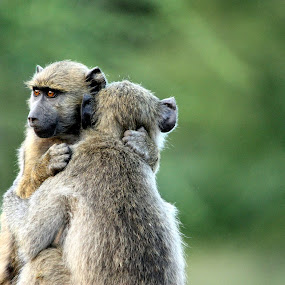 by Sandra Mcgowan - Animals Other ( monkeys, africa, kruger park )