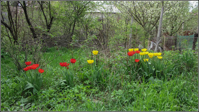 Photo: Turda - Str. Salinelor, Nr.15 - casa rurala - fosta casa  familiei Goia , lalea in gradina (parasita),  - 2018.04.15