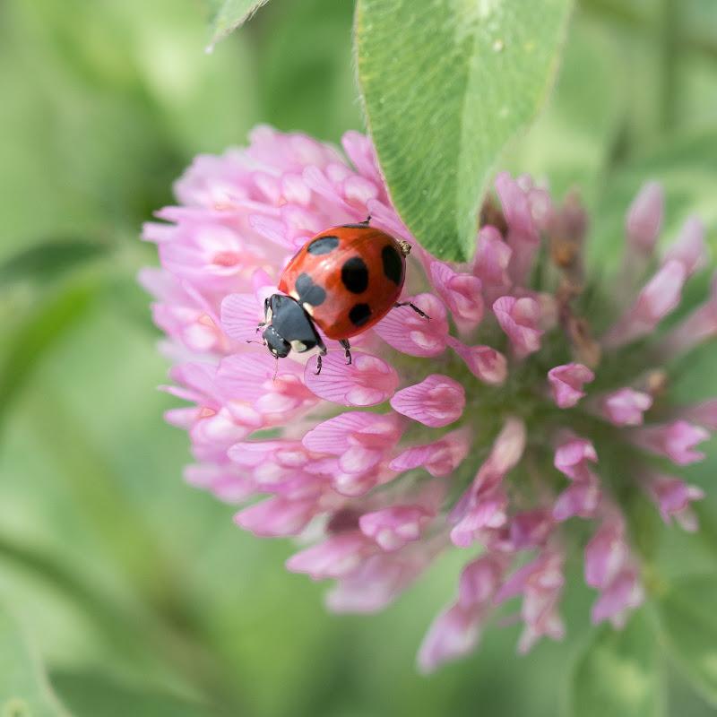 ladybug di bartolomei massimiliano