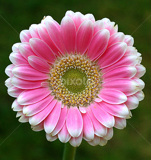 Mostly Pink Single Flower Flowers Pixoto