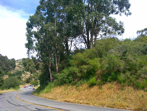 Photo: Fog drip here on the ridge means vigorous growth of the french broom under the canopy of these eucalypti.
