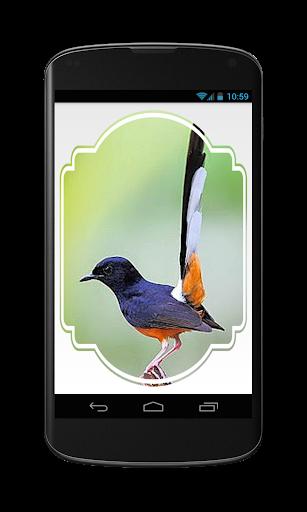 Gallery Burung Murai