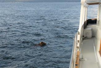 Photo: Swimming Bear
