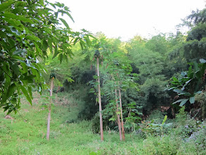 Photo: Papaya trees