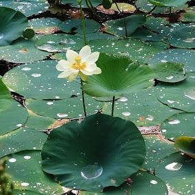 Giant water lilies  by Eddy Dufault - Flowers Single Flower
