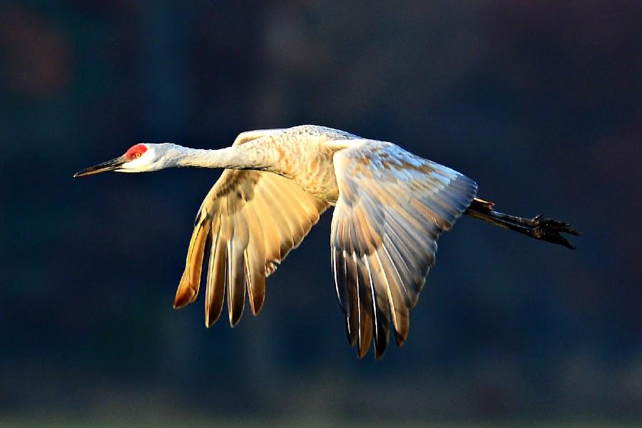 Sandhillcrane by Ruth Overmyer - Animals Birds (  )