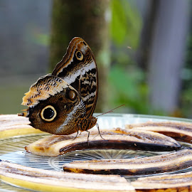 Owl Butterfly by Sandy Friedkin - Animals Insects & Spiders ( butterfly. owl )