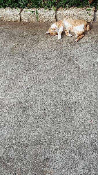 入園的花草盆栽景觀環境打理得很棒,無可避免蚊子大軍的叮咬,建議記得先噴防蚊液再入園,假日咖啡廳用餐位置不多,建議入園先去預訂位,再去走走拍拍逛逛,很好地方都很好拍,有一隻很可愛的懶懶貓,今天去桐花沒很