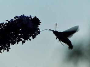 Photo: Taubenschwänzchen (Macroglossum stellatarum) 2