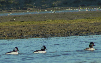 Photo: Bufflehead