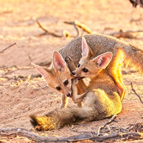 Cape Fox Pups at Play by Anne-Marie  Fuller  - Animals Other Mammals ( nature, cape fox, baby animals, fox, wildlife,  )