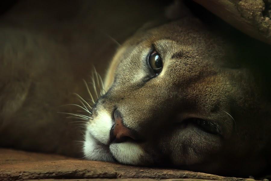 kriyip kriyip by Wartono Wartono - Animals Lions, Tigers & Big Cats
