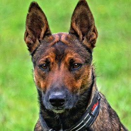 Mesa - Malinois Dog - 2294 by Twin Wranglers Baker - Animals - Dogs Portraits