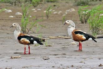 Photo: Orinoco Geese