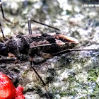 One-spotted Seed Bug