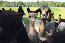 Lazy Acre Alpacas, Bloomfield, United States