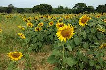 Sunflower Field, Khok Samrong, Thailand